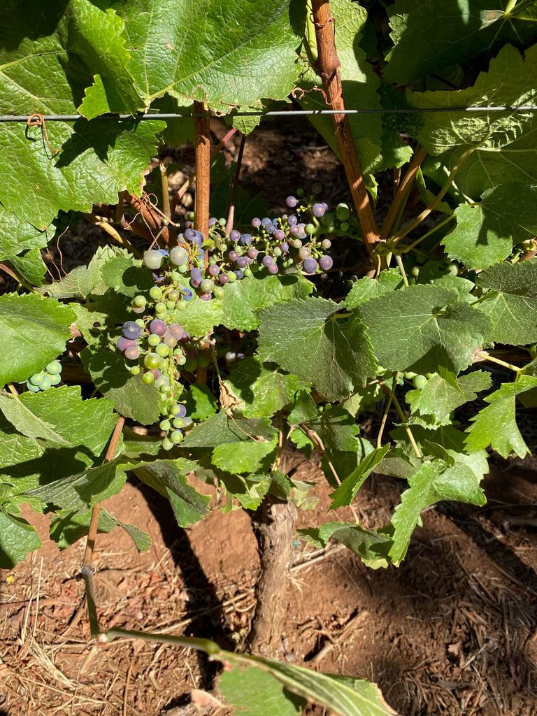 Eola Hills Winery Vines