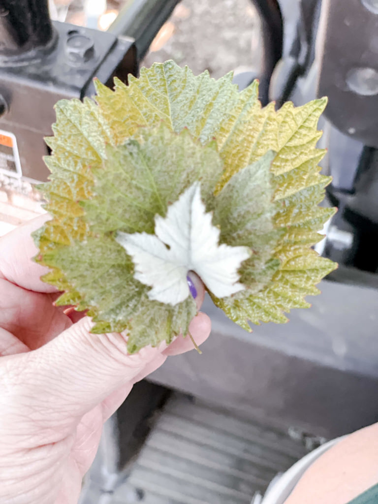 The leaves from Chardonnay vines, Pinot Noir vines and Pinot Meunier vines.